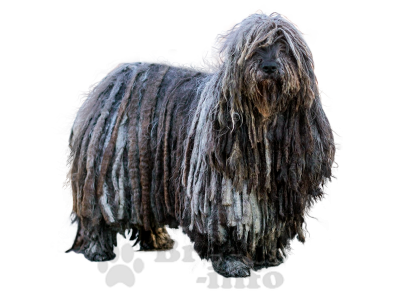 фото Бергамская овчарка