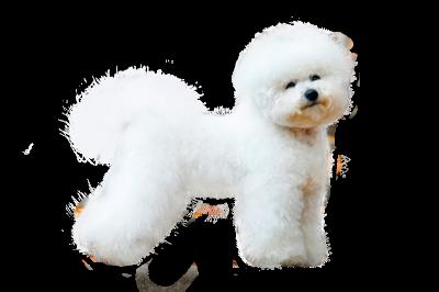 Бишон фризе Описание, плюсы и минусы, выбор щенка, питомники.