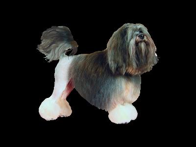 фото Малая львиная собака