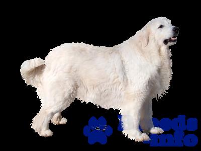 фото Пиренейская горная собака