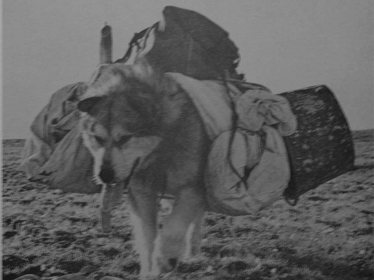 фотография   Аляскинского маламута