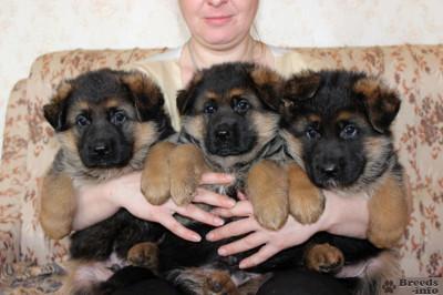 Большой выбор щенков немецкой овчарки