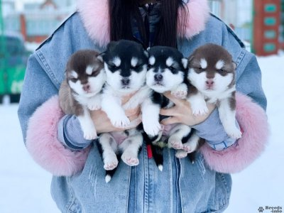 Малыши Аляскинского Маламута