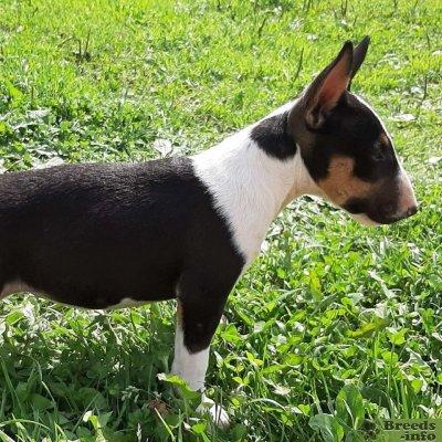 Миниатюрный бультерьер щенки