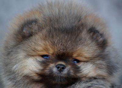 Питомник предлагает к резервированию щенков померанского шпица