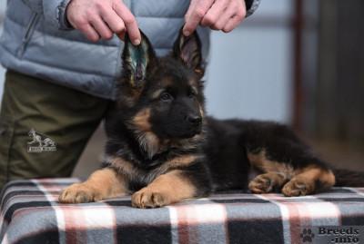Питомник  предлагает щенков Немецкой Овчарки