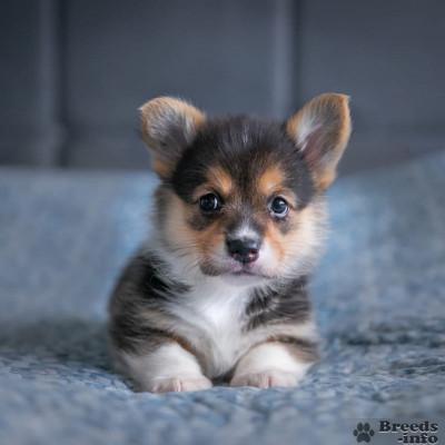 Предлагаем к предварительному резервированию щенков Вельш Корги Пемброк.