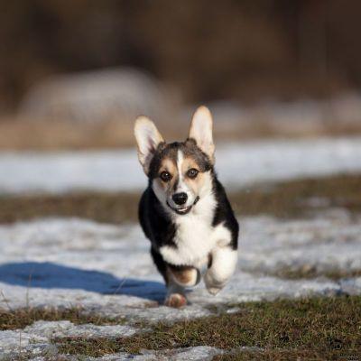 Предлагаем к продаже щенка Вельш Корги Пемброк.
