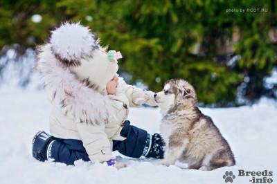 Предлагаем щенков АЛЯСКИНСКОГО МАЛАМУТА
