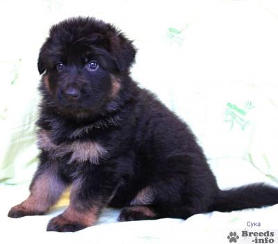 Предлагаю щенков длинношёрстной немецкой овчарки.