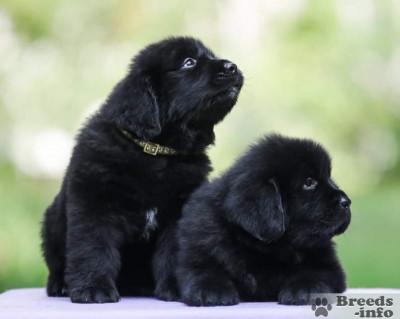 Предлагаются к резервированию щенков ньюфаундленда черного окраса