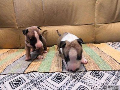 Предлагаются щенки миниатюрного бультерьера.
