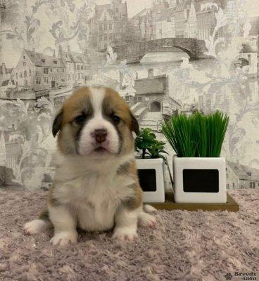 Предлагаются щенки Вельш -корги пемброк от красивой титулованной родительской пары