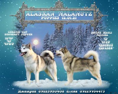 Щенки Аляскинского Маламута.