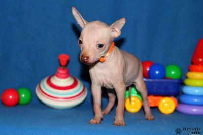 Щенки Мексиканской голой собаки - ксолоитцкуинтли
