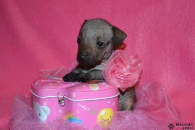Щенки мексиканской голой собаки мини