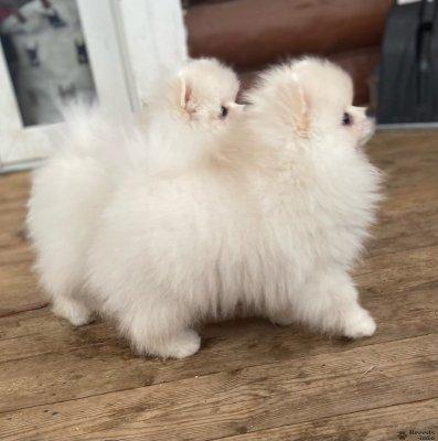 Шикарные щенки Померанского шпица.