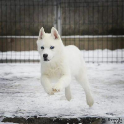 Сибирский хаски