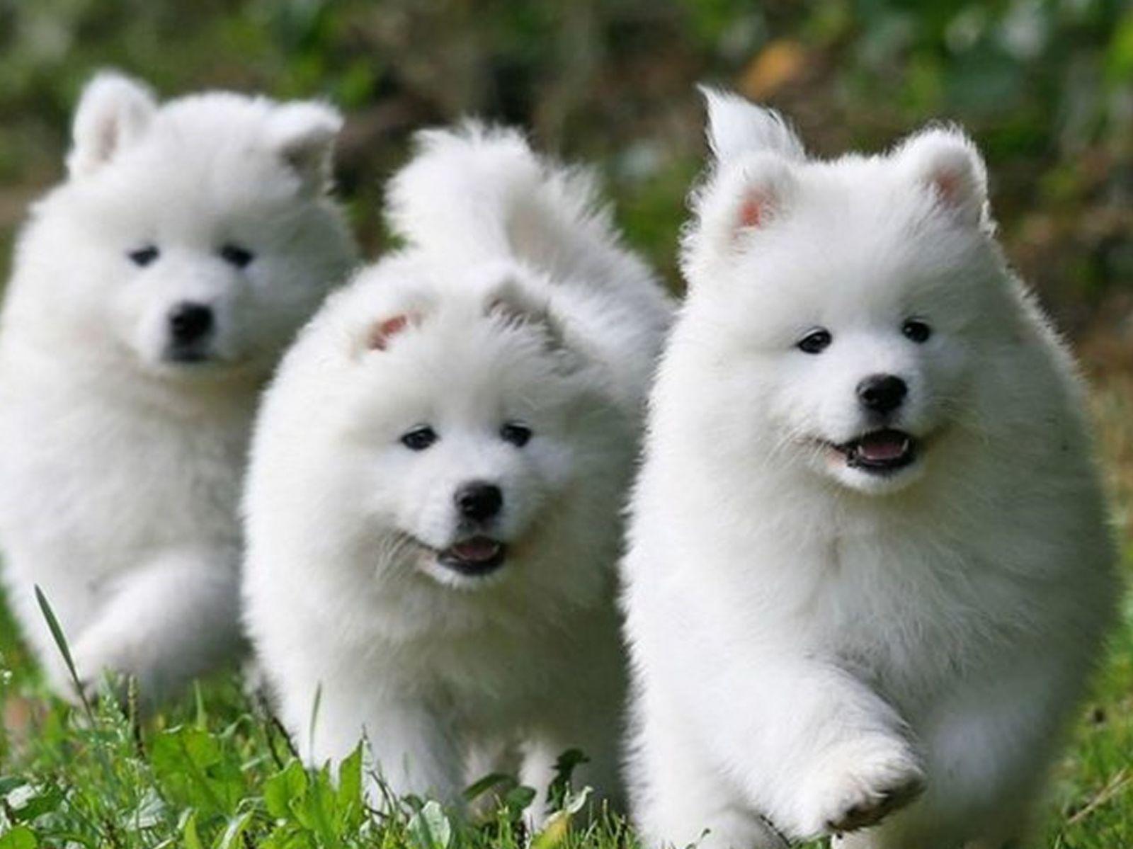 фотография   Самоедской собаки