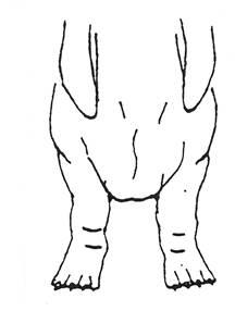 Передние лапы