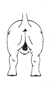 Задние лапы бассета